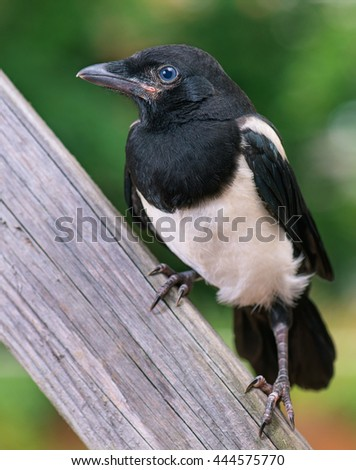 The close view of the nestling of magpie on wooden fence. Bird on wooden fence. - stock photo