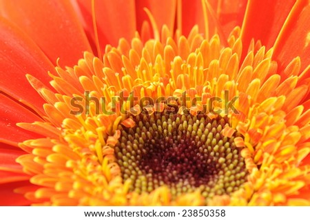 The closeup of an African daisy.