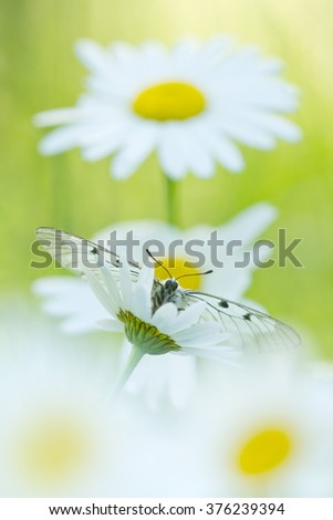 The Clouded Apollo (Parnassius mnemosyne) on a daisy flowers - stock photo
