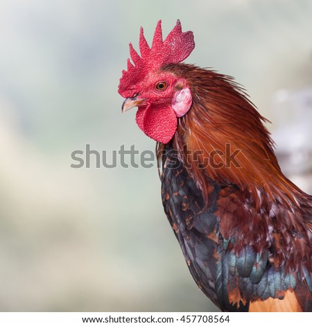 The Cock, Chicken Head with red comb - stock photo