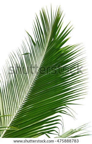 The Coconut palm trees isolated on white background. This has clipping path.