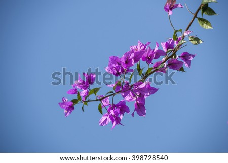 The color bougainvillea flower opening under the spring sunshine.