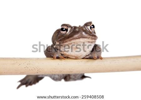 The Colorado River or Sonoran Desert toad, Incilius alvarius, on white - stock photo