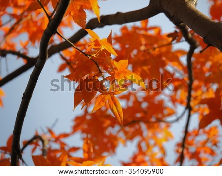 The colorful and beautiful fall leaves in the autumn sunny day