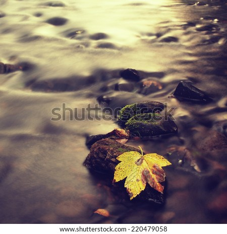 The colorful broken maple  leaf. Fallen leaf on sunken basalt stone in blurred water of mountain stream.  - stock photo