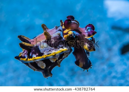 The colorful Flamboyant cuttlefish (Metasepia pfefferiis) is a cephalopod, related to squid and octopus.  It has a poisonous, toxic venom, said to be as lethal as a blue-ringed octopus.  - stock photo