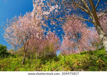 The colorful of Wild Himalayan Cherry in the north of Thailand.