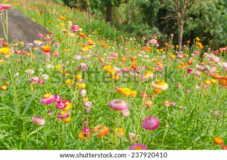 the Colorful Straw Flowers in garden - stock photo