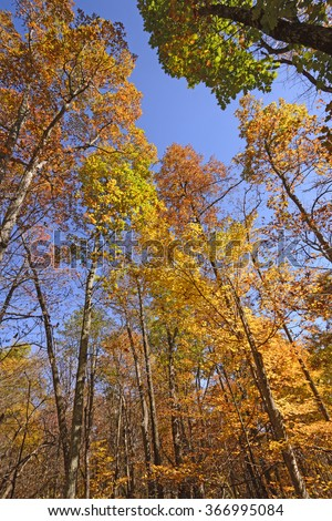 The Colors of Fall in the Tall Trees in Shenandoah National Park in Virginia - stock photo