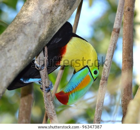 The colourful Rainbow Toucan hangs casually from the branch of a tree