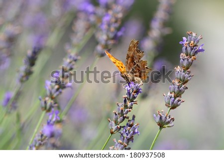 The Comma butterfly perching in a field of lavender in spring - stock photo