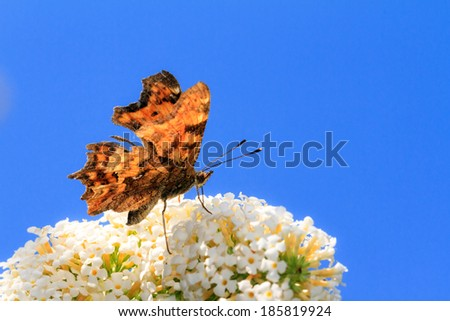 The Comma (Polygonia c-album) on summer lilac (Buddleja davidii) in the Netherlands  - stock photo