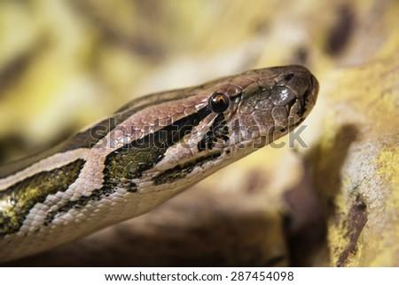 The common boa. Snake - stock photo
