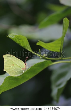 The Common Brimstone