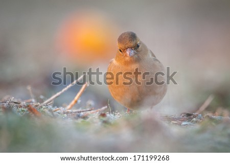 The Common Chaffinch (Fringilla coelebs), usually known simply as the Chaffinch is a common and widespread small passerine bird in the finch family. - stock photo
