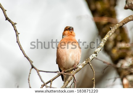 the common chaffinch on a tree branch sings - stock photo