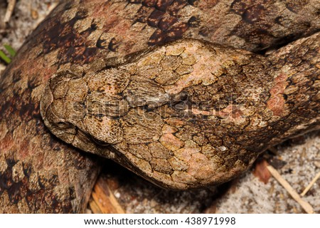 The common death adder is a species of death adder native to Australia. It is one of the most venomous land snakes in Australia and globally. - stock photo