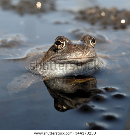 The common frog (Rana temporaria) , also known as the European common frog, European common brown frog, or European grass frog, is a semi-aquatic amphibian  - stock photo