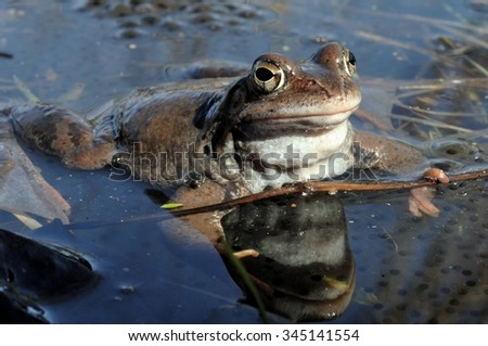 The common frog (Rana temporaria) mating, also known as the European common frog, European common brown frog, or European grass frog, is a semi-aquatic amphibian  - stock photo