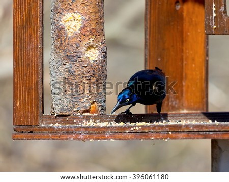 The common grackle forages on the ground, in shallow water or in shrubs; it will steal food from other birds. It is omnivorous, eating insects,  eggs, berries, seeds, grain and  small birds and mice.