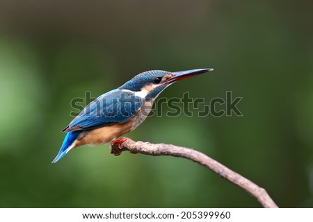 The Common Kingfisher (Alcedo atthis),Eurasian Kingfisher or river Kingfisher that immigrated bird for Thailand. - stock photo