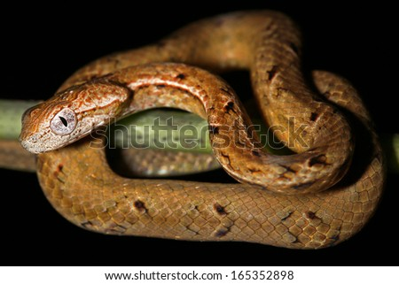 The Common Mock Viper (Psammodynastes pulverulentus) is a species of snake native to Asia. It is one of the few snake species to possess three hemipenes. Danum Valley, Sabah, Malaysia (Borneo). - stock photo