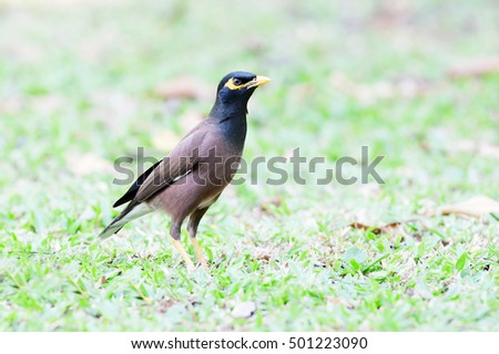 "The common myna (Acridotheres tristis), sometimes spelled mynah, also sometimes known as ""Indian myna"",[2] is a member of the family Sturnidae (starlings and mynas) native to Asia."