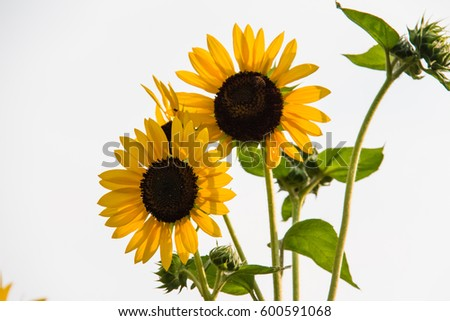 "the common name, ""Sunflower"" , whose round flower heads in combination look like the sun."