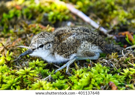The Common Sandpiper chick. This cute  Common Sandpipers chick has left its nest under mother surveillance - stock photo