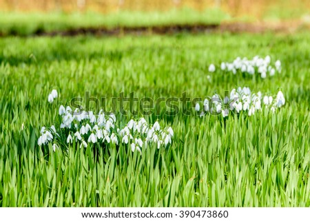 The common snowdrop (Galanthus nivalis) seen in early spring, is one of the first flowers to bloom in the season. Here seen in a lovely green carpet of other plants. - stock photo