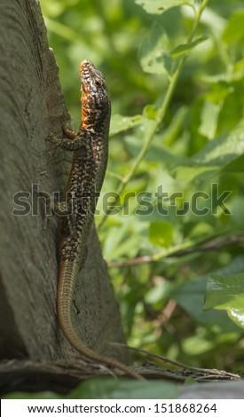 The common wall lizard Podarcis muralis, juvenile specimen - stock photo