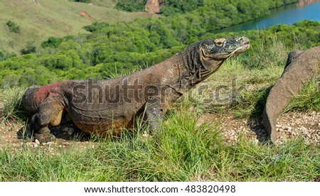 The Comodo dragon (Varanus komodoensis) in natural habitat on green natural background. It is the biggest living lizard in the world. Island Rinca. Indonesia.