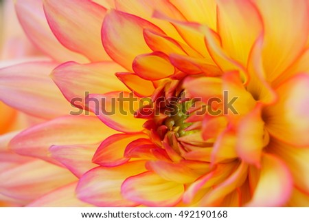 The core dahlia flower. Pink and yellow