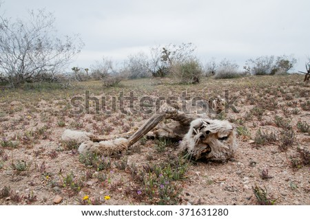 The corpse of a bobcat decomposing in the mojave desert. - stock photo