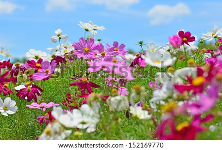 The Cosmos Flower - stock photo