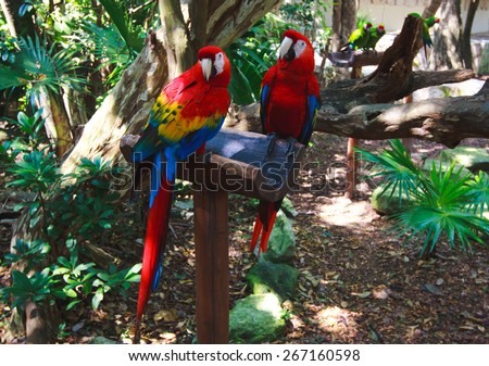 The couple of colorful parrots macaws in Xcaret park Mexico - stock photo