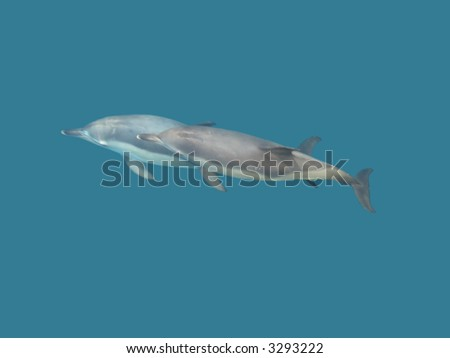 The couple of dolphins in the deep crystal water of the sea. - stock photo