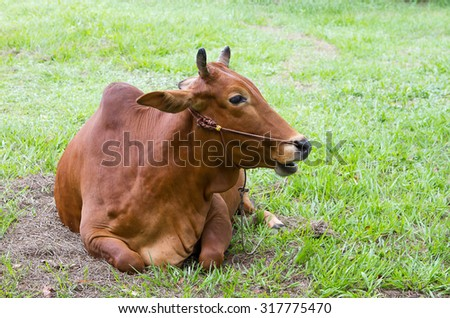 The cow has been five months pregnant. - stock photo