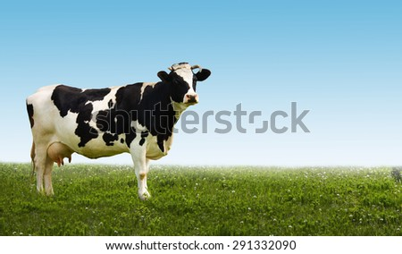 The cow in the meadow. - stock photo