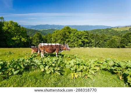 The cow in the meadow in the mountain area - stock photo