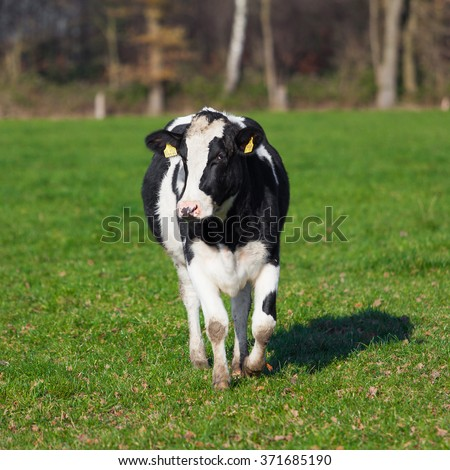 The cow is grazed on a green field.  Cow in the field