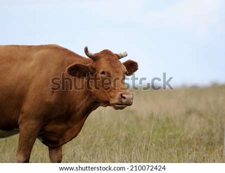 The cow is grazing in the pasture. - stock photo