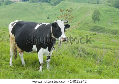 The cow on a pasture