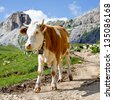 The cow on a pasture in Dolomiti mountain - stock photo