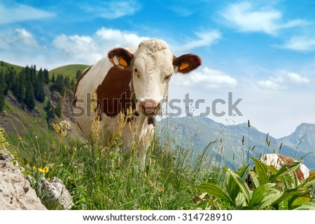 The cow pastures on green lush meadow in mountains - stock photo