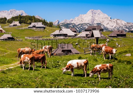 The cows and herdsmen's huts on the Big Pasture Plateau in Slovenia in the Kamnik Savinja Alps northeast of Kamnik, Slovenia.