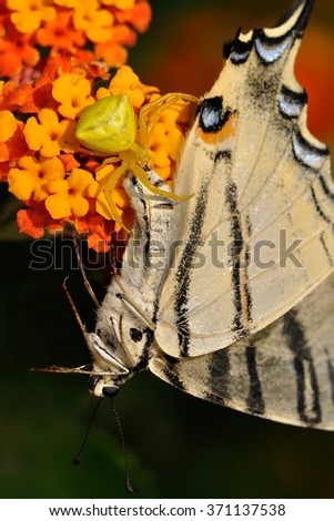 The Crab spider (Thomisus onustus) with prey - Scarce Swallowtail (Iphiclides podalirius). Yellow spider sitting on the flower caught colorful butterfly. Red and orange bloom wth hunting spider. - stock photo
