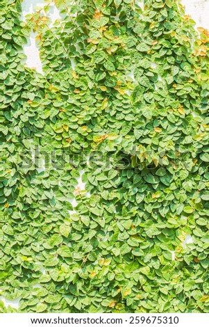 The Creeper Plant on the White Wall - stock photo