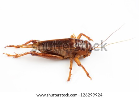 The cricket isolated on a white background