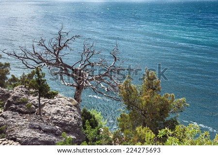The Crimean peninsula, Black Sea coast, on the background of the sea on the shore of the rock tree grows
